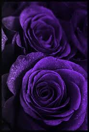 purple roses roses lovely lovely dean roses purple roses