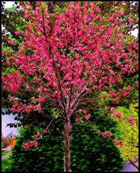 Small Trees For Backyard by 22 Best Trees N Shrubs Images On Pinterest Plants Flowering