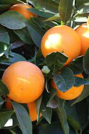 ponkan tangerine tree just fruits and exotics