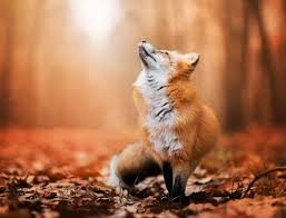 sleeping red fox wallpapers photo collection red fox wallpaper related