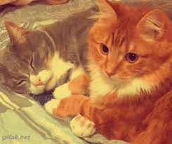 cuddling cats gif pictures photos and images for