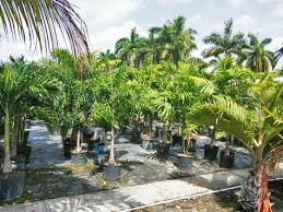 palm trees for sale in fort myers fl palm tree nursery