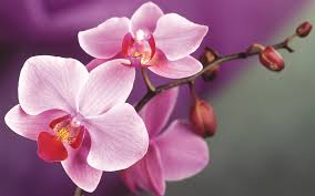 Flower Orchid Orchid Flower Wallpaper 18508 6913069