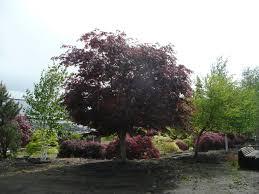 large ornamental trees