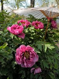 Peonies Season Where To See Peonies In Bloom Crickethillgarden