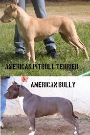 american pitbull terrier vs german shepherd american staffordshire terrier vs pitbull american pitbull
