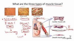 tissues of the musculoskeletal system 8 4 1 three types of muscle