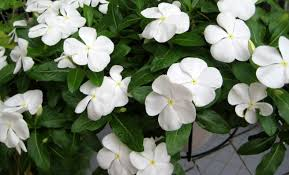 Vinca Flowers 100 Types Of The Most Beautiful White Flowers For Your Garden