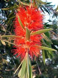 callistemon bottle brush tree