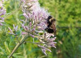mn native plant society bee found in minnesota placed on endangered species list