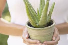 how to get rid of pests on aloe vera plants home guides sf gate