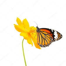 butterfly common tiger and flower isolated on white background