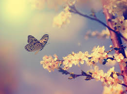 cherry flowers wallpapers butterflies and blooming cherry blossoms 53045 flower wallpapers