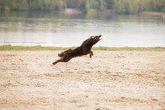 australian shepherd frisbee australian shepherd dog laying stock photos images u0026 pictures