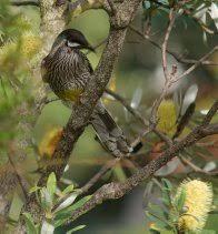 Birds In Your Backyard Birds In Your Backyards Australian Museum