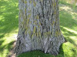 poplar tree fast growing tree with moderate wood properties