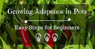 growing jalapenos in pots easy steps for beginners