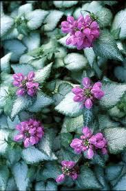 18 best flowering ground cover plants balcony garden web