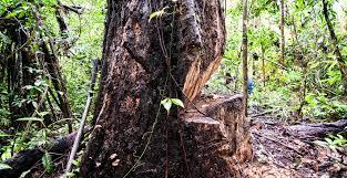 native plants in the amazon rainforest deforestation in peru building a dramatic future in the amazon