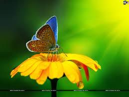 free download butterfly hd wallpaper 35