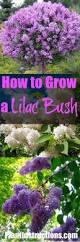 top 25 best lilac plant ideas on pinterest lilacs syringa