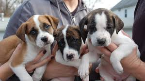 feeding a boxer dog how many puppies can a pit bull have in one litter reference com
