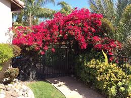 here are top 5 beautiful patio cover plants blog nurserylive com