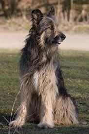 afghan hound ireland rufus german shepherd wolf hound cross jh0604 flickr