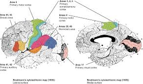 The Anatomy Of The Human Brain The Central Nervous System Anatomy And Physiology