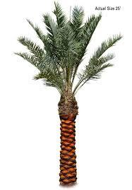 sylvester date palm tree buy bonsai trees true date palm tree medjool