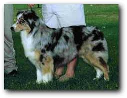 runnin c australian shepherds calais u0026 carolina australian shepherds hall of fame breeders