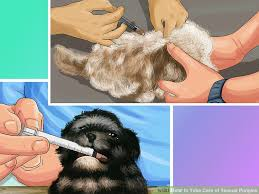 Seeking Teacup 3 Ways To Take Care Of Teacup Puppies Wikihow
