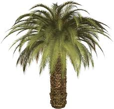 palm tree thirteen isolated stock photo by nobacks com