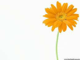 51 best daisy flower images on pinterest daisy flowers daisies