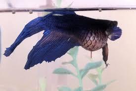 swim bladder disorder in aquarium fish