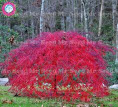aliexpress buy 10pcs weeping japanese maple tree