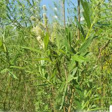 native hedging plants uk gardenersdream salix caprea 60 90cm 2 3ft bare root osier willow