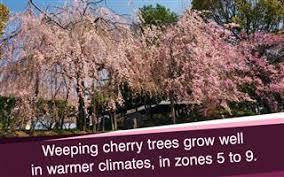 Flowering Cherry Shrub - types of flowering cherry trees