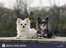 affenpinscher shaved toy breed stock photos u0026 toy breed stock images alamy