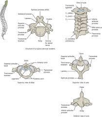 Cranial Nerves Worksheet 7 3 The Vertebral Column Anatomy And Physiology