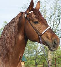 missouri fox trotter horse breed expert advice on horse care and