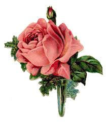 cabbage rose wallpaper hd hd picturez