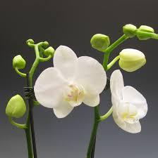 white orchids orchid plants white phalaenopsis orchidaceous orchid