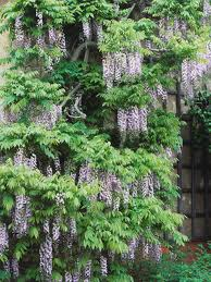 native climbing plants growing and training wisteria hgtv