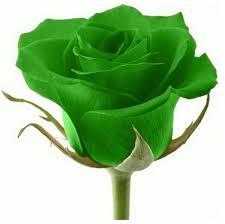 green roses 25x multi colors green flower seeds garden plant uk
