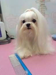 joypia yorkshire haircuts maltese groomed by mina choi of joypia wonder if these would