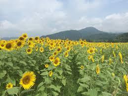 fukuoka sunflower guide 2017 fukuoka now