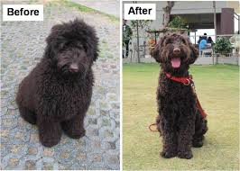 how to cut a goldendoodles hair post pics of different grooming styles doodlekisses com the