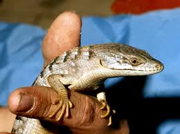 the alligator lizard a creature by many names natural world