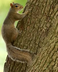 control manage squirrels on your property u2013 webster progress times